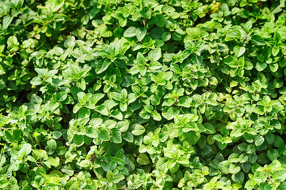 Organic vegetables Chiang Mai