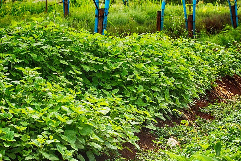 Organic herbs Chiang Mai